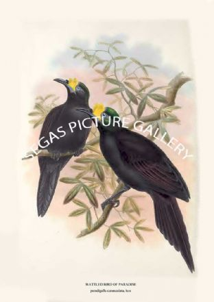 WATTLED BIRD OF PARADISE - paradigalla carunculata, less